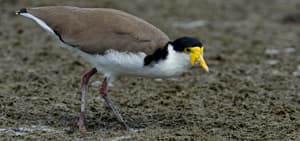 #446 Spur-winged Plover