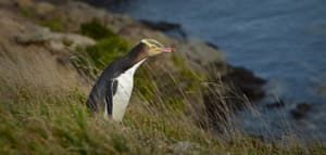 #460 Yellow-eyed Penguin