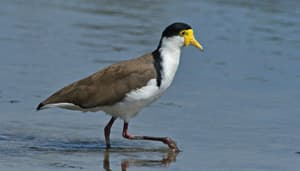 #494 Spur-winged Plover