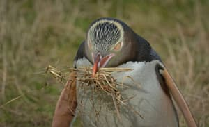 #515 Yellow-eyed Penguin, with nest material